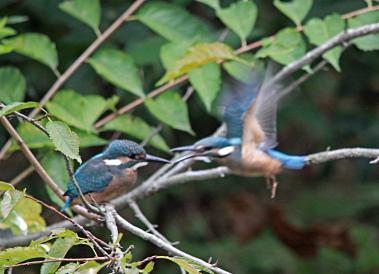 0820_10_カワセミの幼鳥達