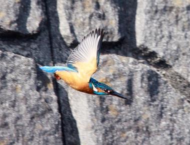 1023_3_恩田川カワセミの飛翔