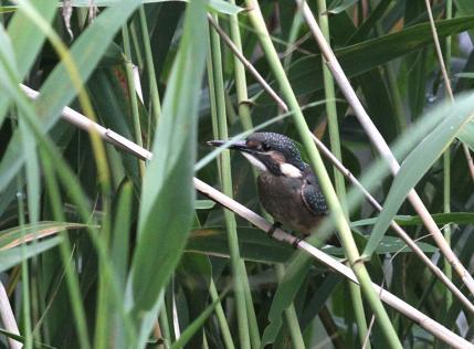 0622_1_M池にデビューした幼鳥