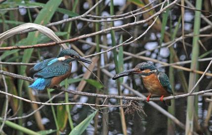 0622_2_幼鳥に餌を運んできた親鳥