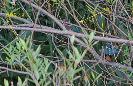 0622_4_ひたすら幼鳥に餌を運ぶ親鳥