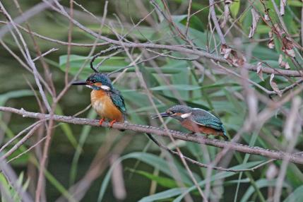 0623_1_親鳥に餌を催促する幼鳥