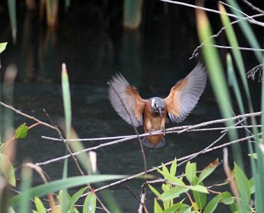 0623_4_水の中に飛び込み始めた幼鳥