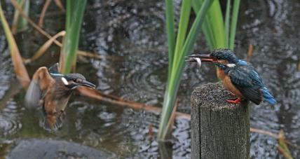 0626_1_餌をねだる幼鳥