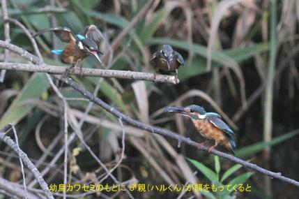 0819_3_幼鳥への給餌_1