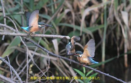 0819_3_幼鳥への給餌_2