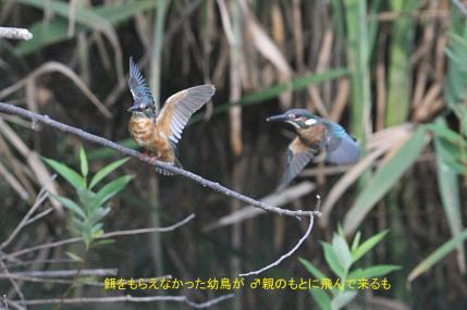 0819_3_幼鳥への給餌_3