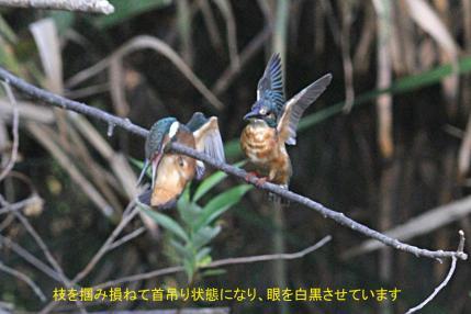 0819_3_幼鳥への給餌_4