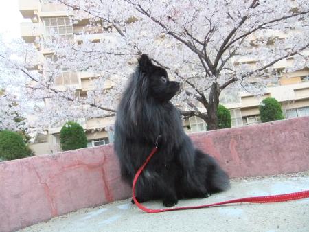 秘密の桜スポット2