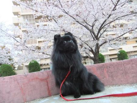 秘密の桜スポット3