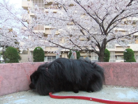 秘密の桜スポット1
