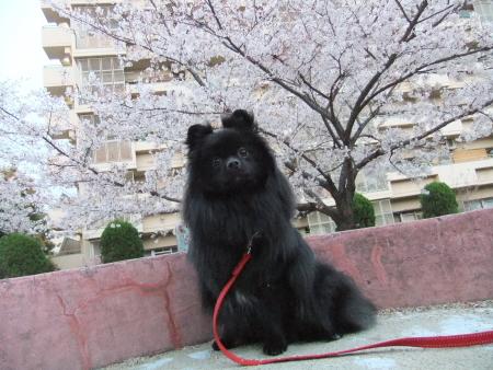 秘密の桜スポット4