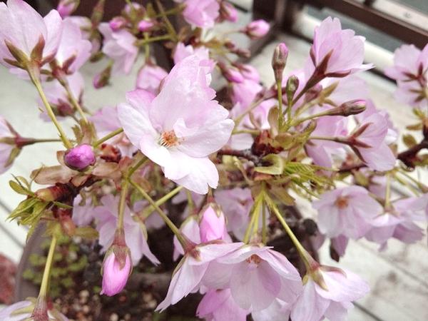2012年の鉢植え桜満開