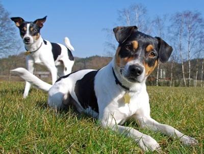Danish-Swidish Farm Dog