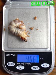 幼虫003