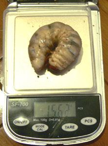 幼虫006
