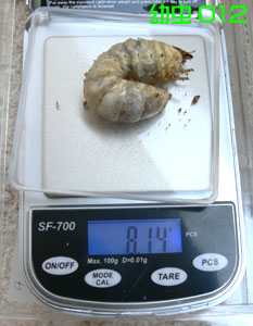 幼虫012