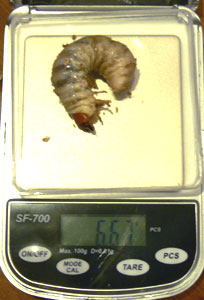 幼虫014