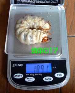 幼虫017