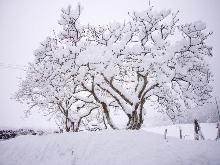 木蓮 雪バージョン