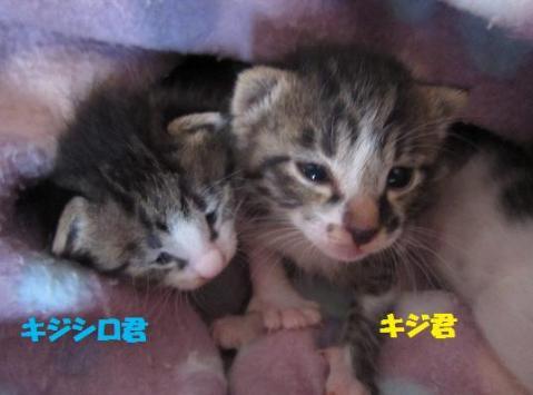 きじ・キジシロ2011-4-29