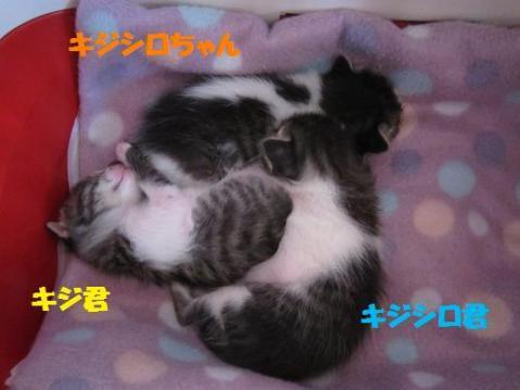 きじ3兄妹2011-4-29