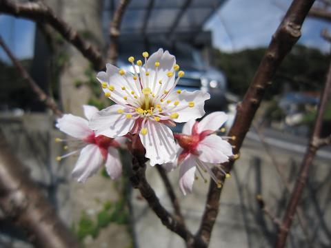 IMG_8343さくらんぼの花