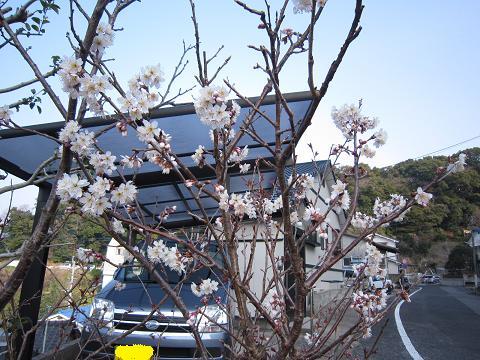 IMG_8411さくらんぼの花