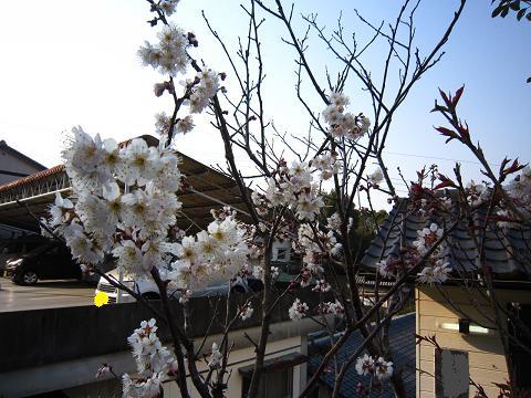 IMG_8419さくらんぼの花