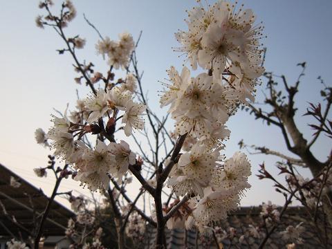 IMG_8416さくらんぼの花