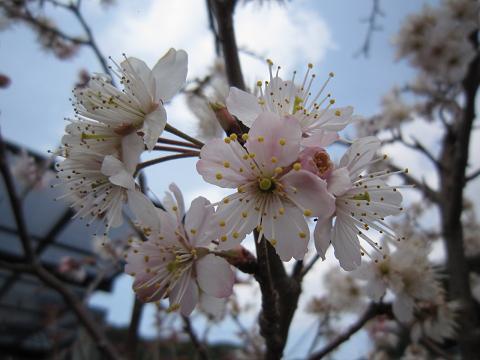 IMG_8440さくらんぼの花