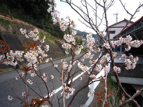 IMG_8436さくらんぼの花