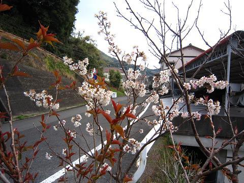 IMG_8435さくらんぼの花