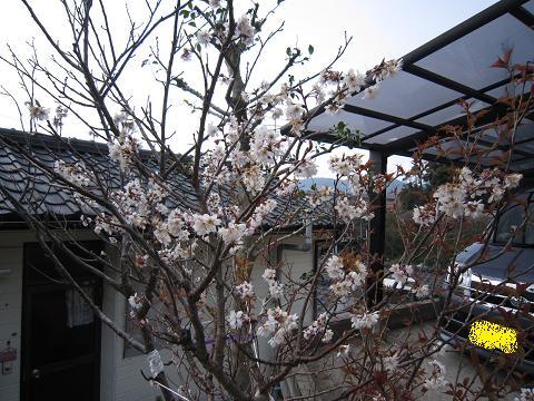 IMG_8433さくらんぼの花