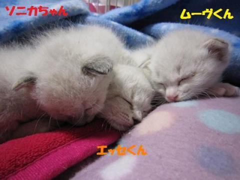 IMG_8648シャムmix3兄妹