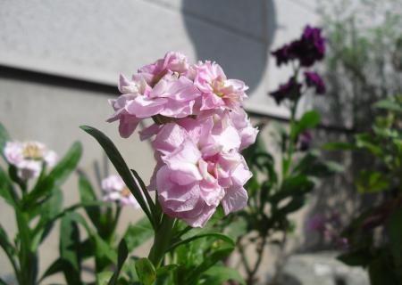 庭の花1_convert_20111103112709
