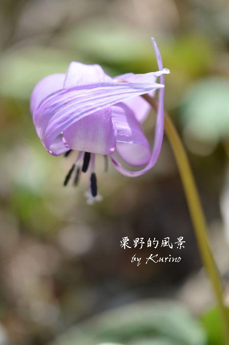 カタクリの花1