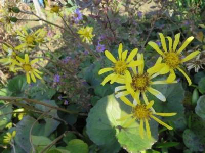 つわぶきも黄色の花。