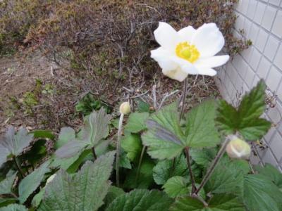 まちの片隅、白い花
