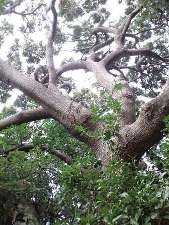 裏庭の大木