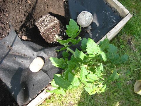 野菜の定植