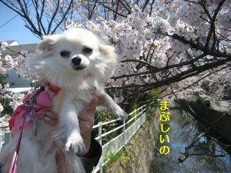 桜とくるみ1