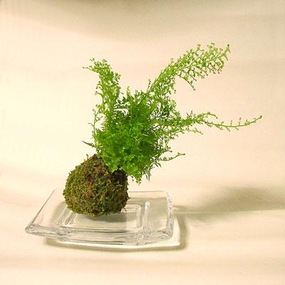 苔玉ネフロレピス01