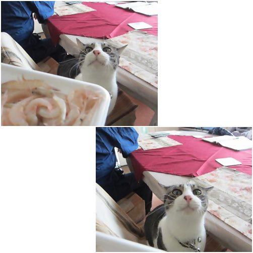 catsしろえび