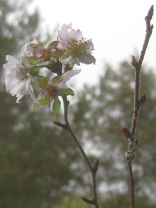 12/9 十月桜