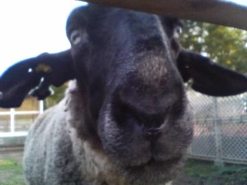 一瞬、「何だこれ?」と思うかもしれませんが、羊。