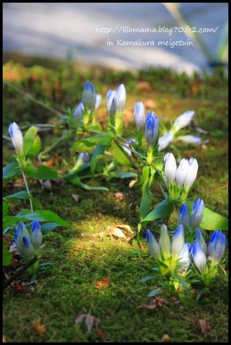明月院 お花