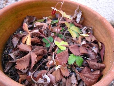 20110108_イチゴの鉢