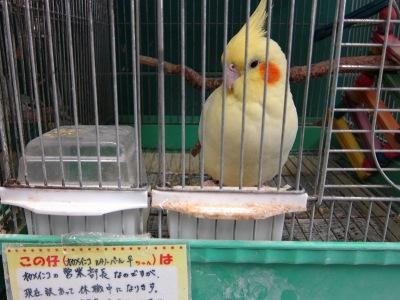 20110219_インコ・オウム専門店10