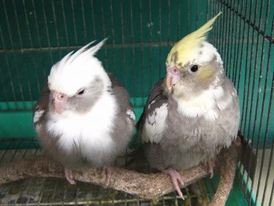 20110219_インコ・オウム専門店12